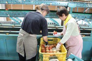 夏秋トマトを選果するパート職員