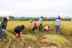 稲を刈り取る児童たち