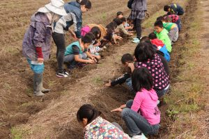 丸いもを掘り起こす児童ら