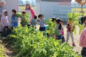大根を掘り起こす園児ら