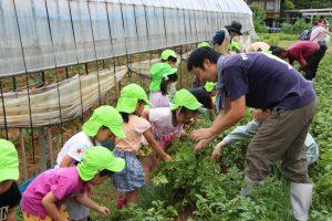 ジャガイモを掘り起こす園児ら