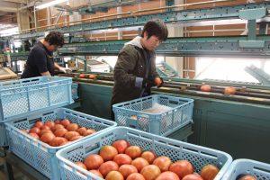 春トマトが出荷されました
