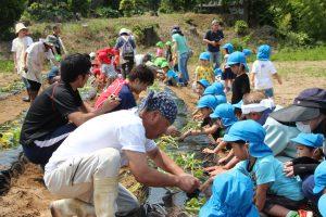 第一保育所サツマイモ植え