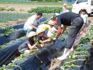 サツマイモの苗を植える園児ら