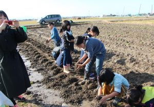 児童が丸いも収穫体験