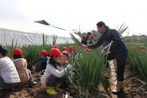 児童がねぎ収穫体験